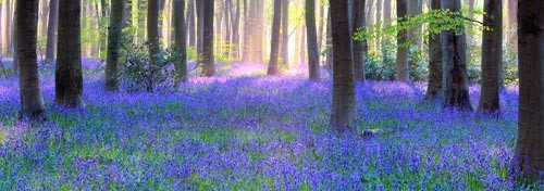 Bluebell-Wood-500x500.